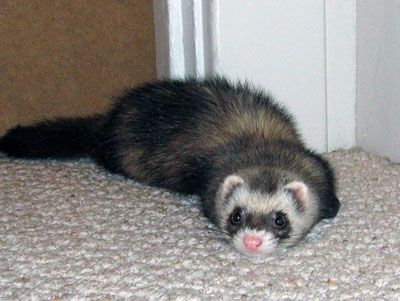 Niki doing a ferret flapjack