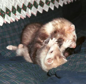 Pandora and little Loki wrestling
