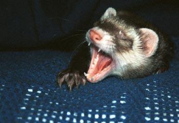 Pandora yawning