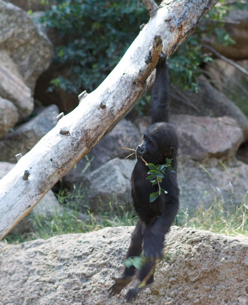 baby_gorilla