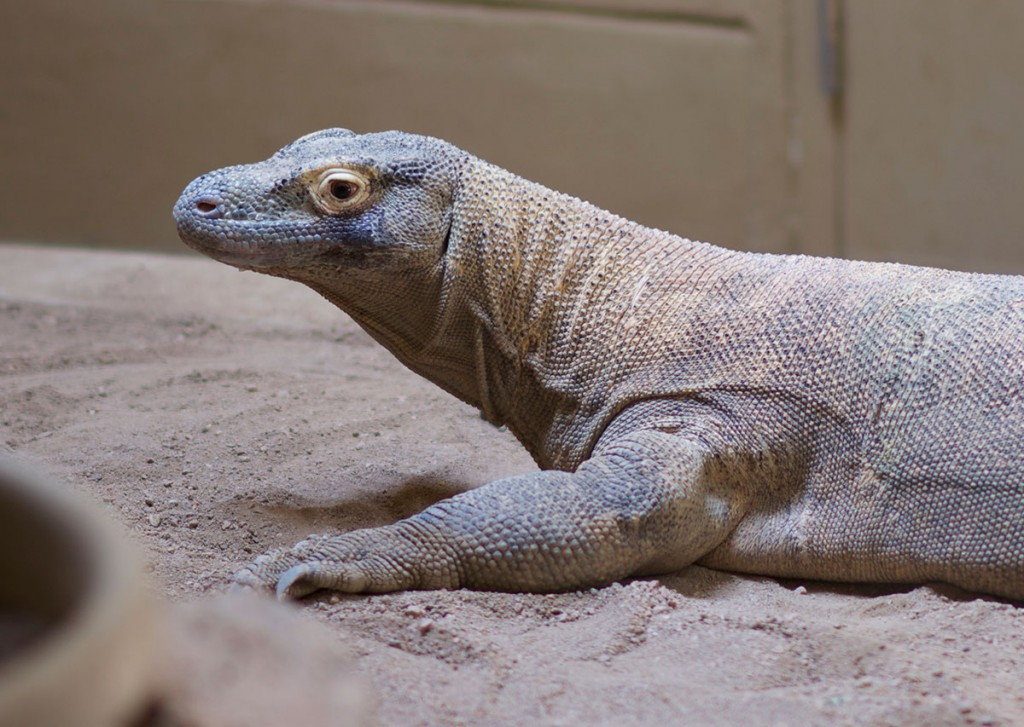 komodo_dragon