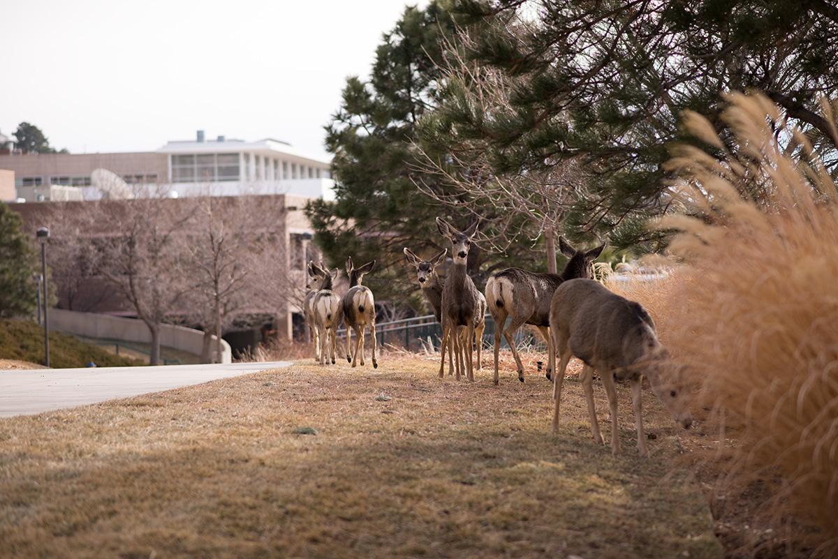 Deer at UCCS