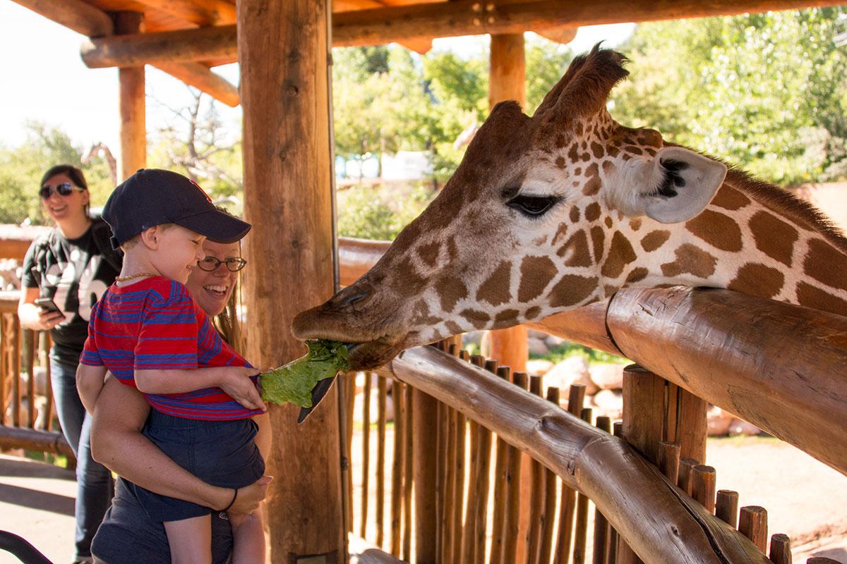 Theo feeding a giraffe