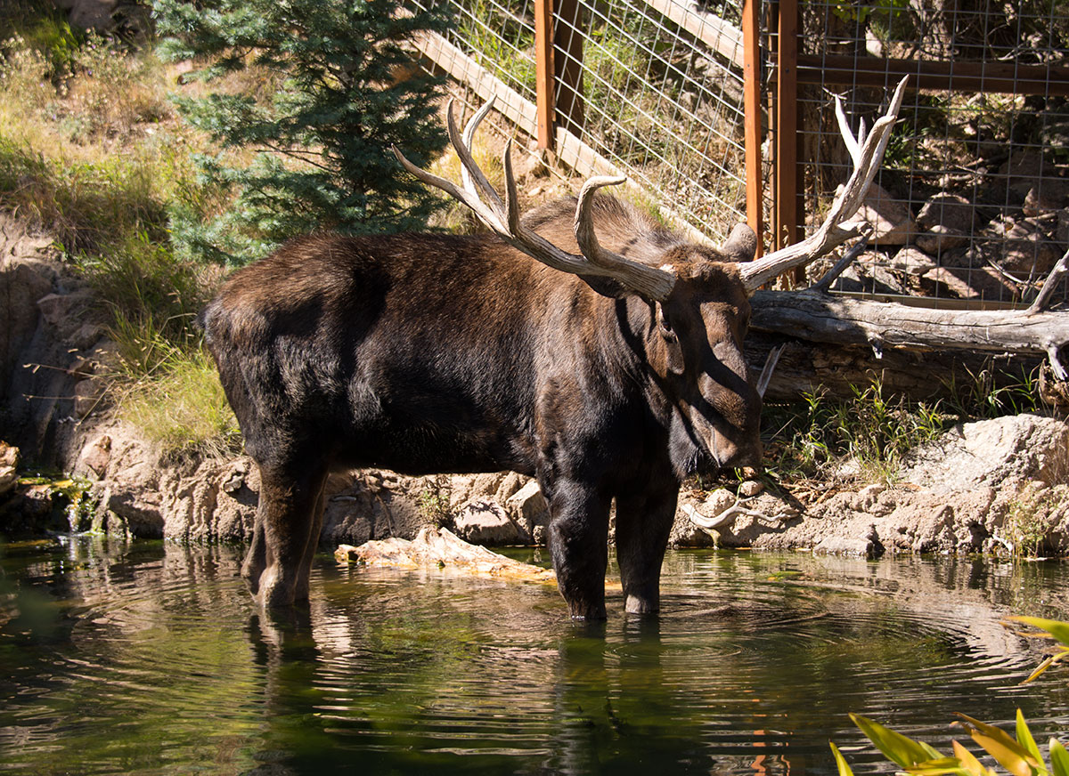 Moose in a Pond