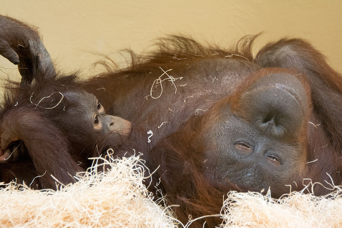 Orangutan Baby Nursing